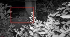 红外线监控:昨天凌晨,神秘来客从深圳湾潜入红树林